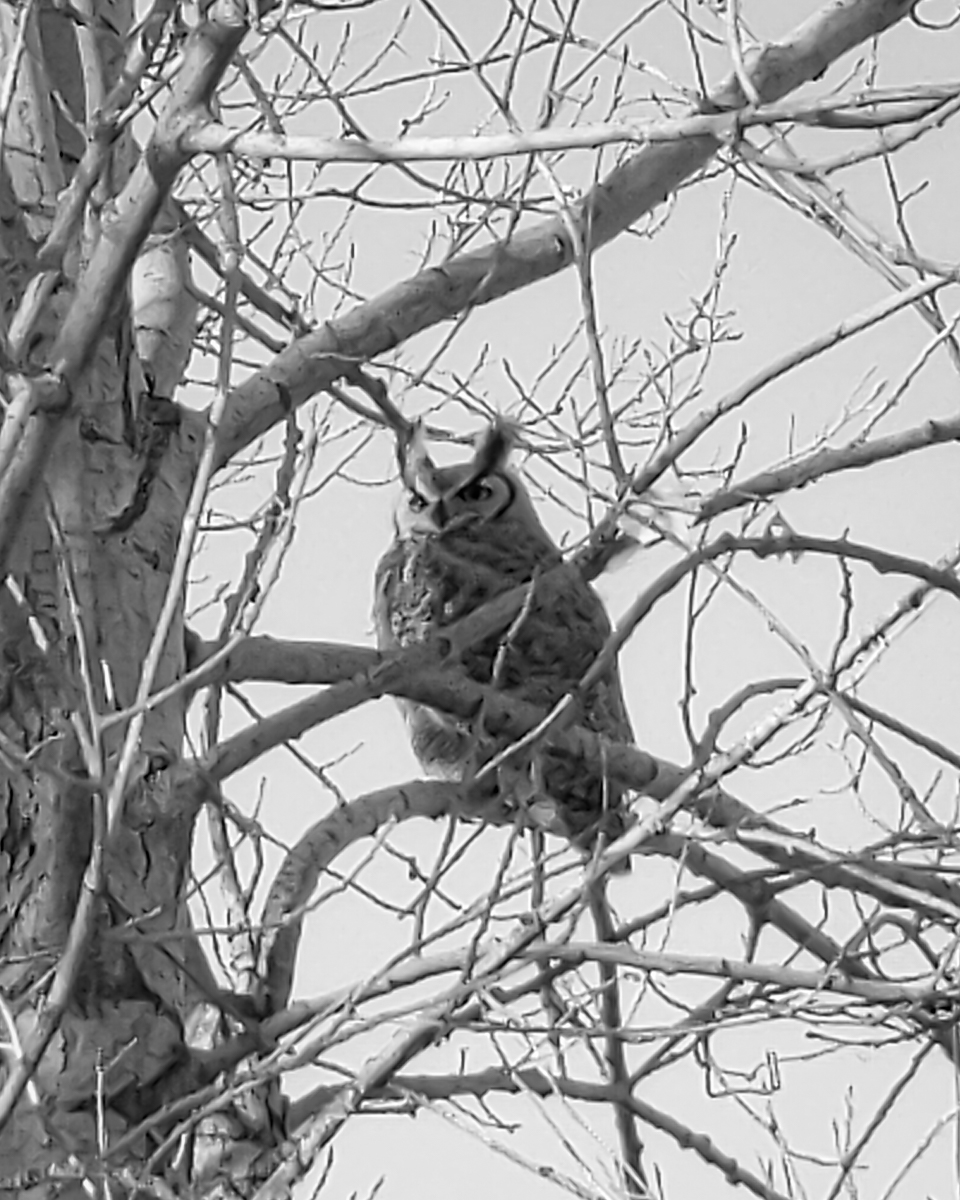Day 42 - 365 Day B&W Photo Challenge - Great Horned Owl, Google Pixel 3, Moment Tele Lens 58mm, Lightroom Mobile