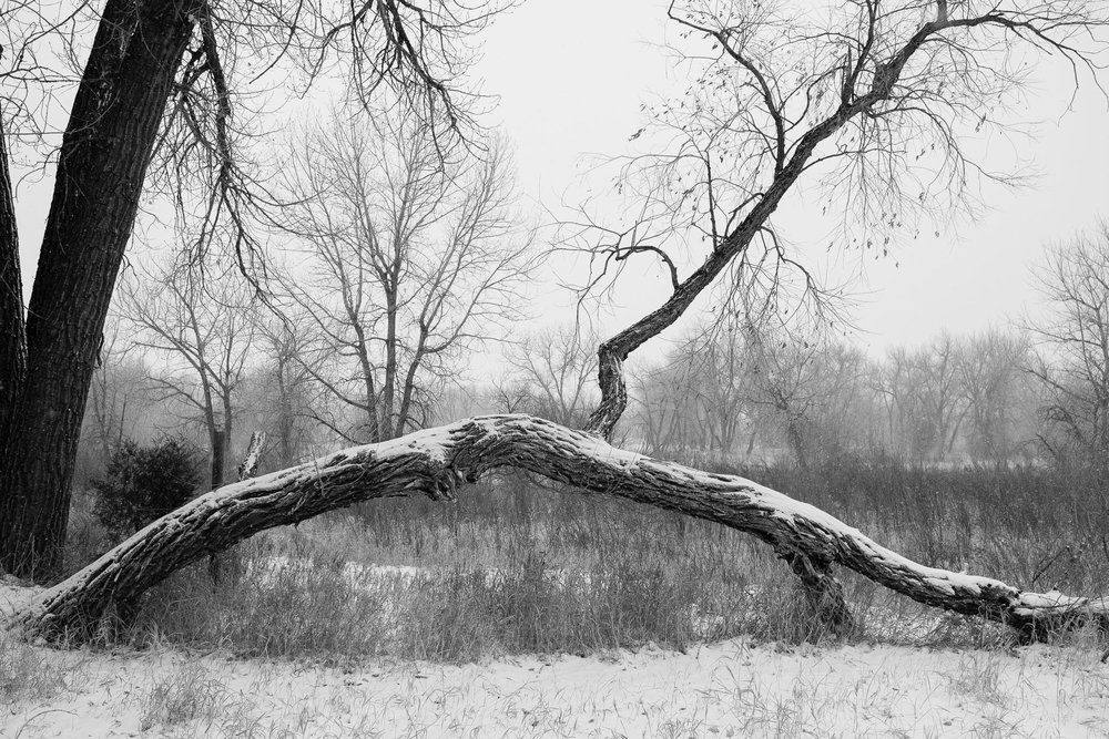 Day 51 - 365 Day B&W Photo Challenge - Snow covered arching tree - Fuji XT-2, XF23mm f/2, Acros R Film Simulation