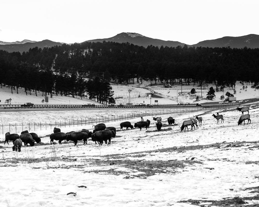 Day 58 - 365 Day B&W Photo Challenge - Bison and Elk grazing at the Genesee Park as the traffic races past into Denver along I-70 - Fuji X100F, Acros R Film Simulation