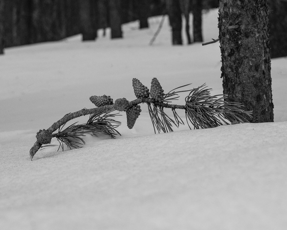 Day 72- 365 Day B&W Photo Challenge - Pine Cones lying on the snow along the trail at Caribou Ranch near Ward, Colorado - Fuji XT-3, XF 35mm f/2, Acros R Film Simulation