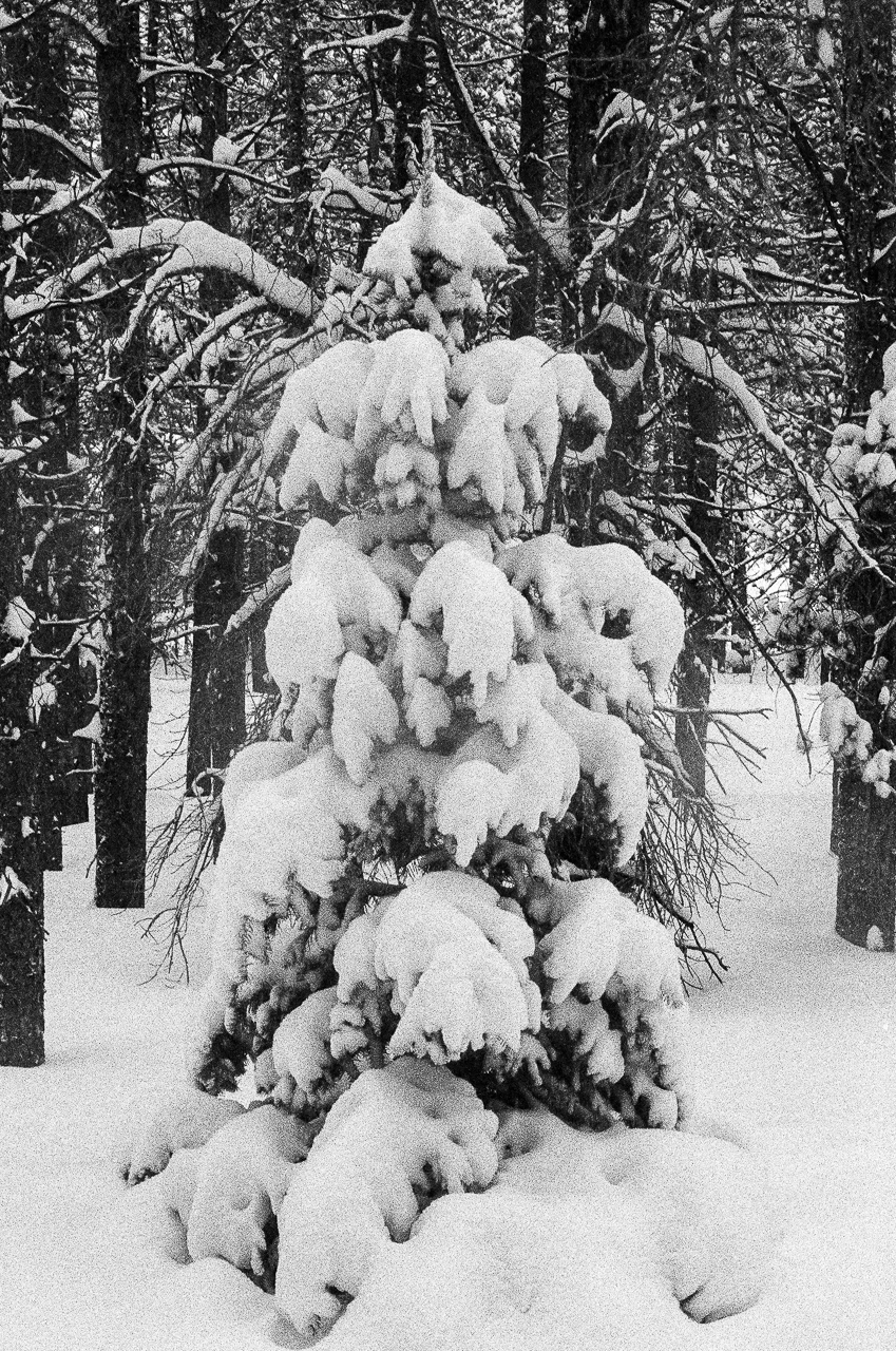 Perfect snow covered Christmas Tree