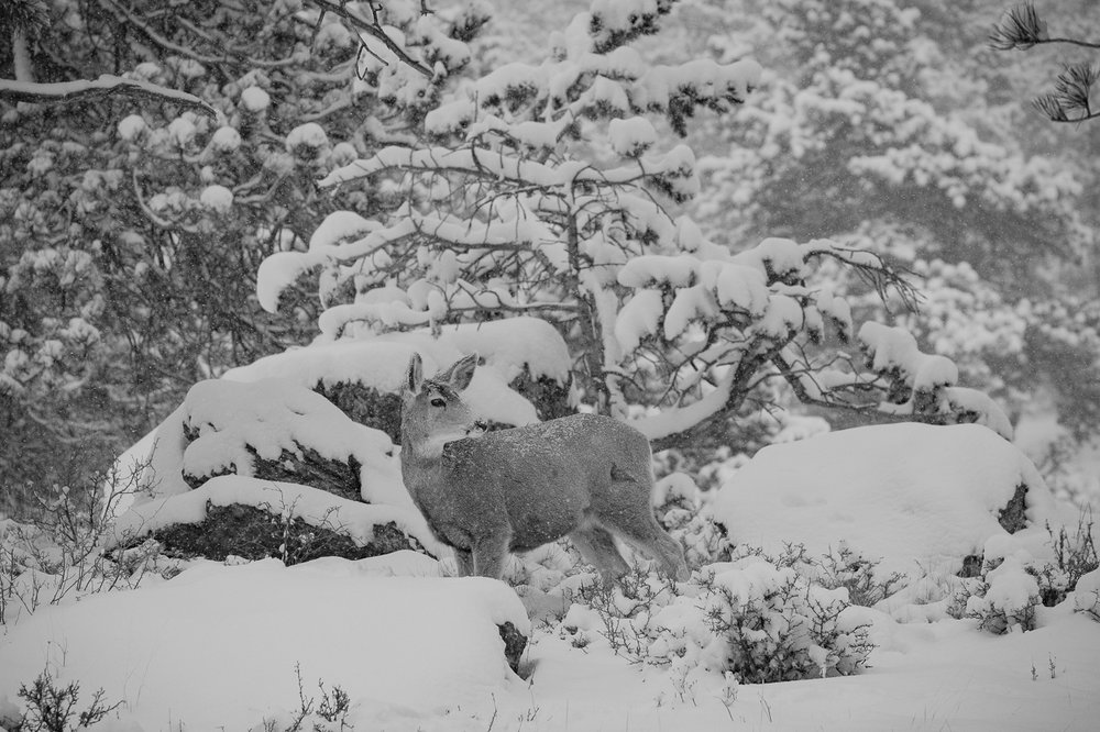 Snow covers the nose of a Mule Deer during a storm in Rocky Moutain National Park