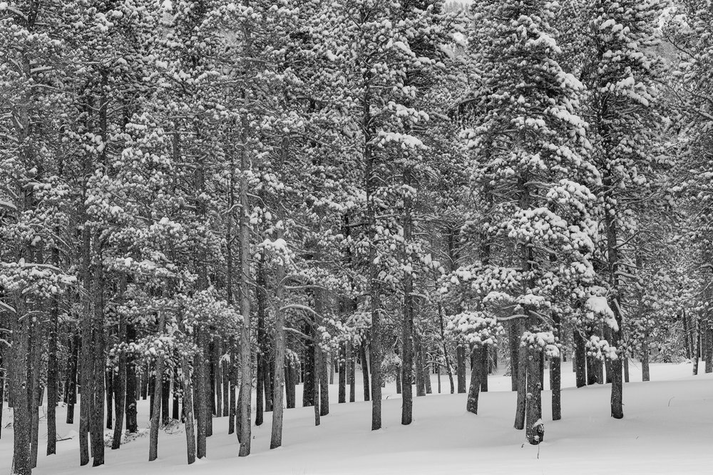 Snow covered trees in Rocky Mountain National Park