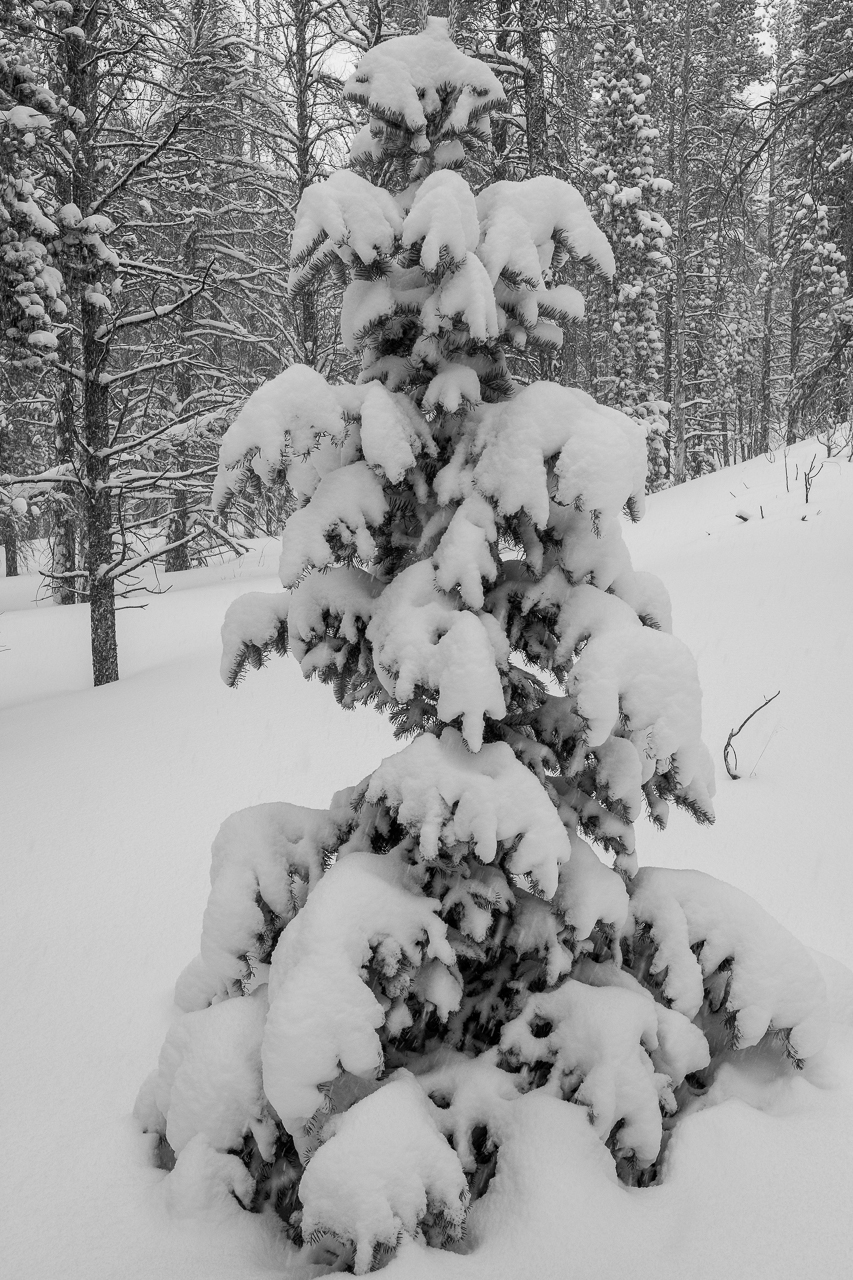A layer of fresh snow covers the pine trees along the trail