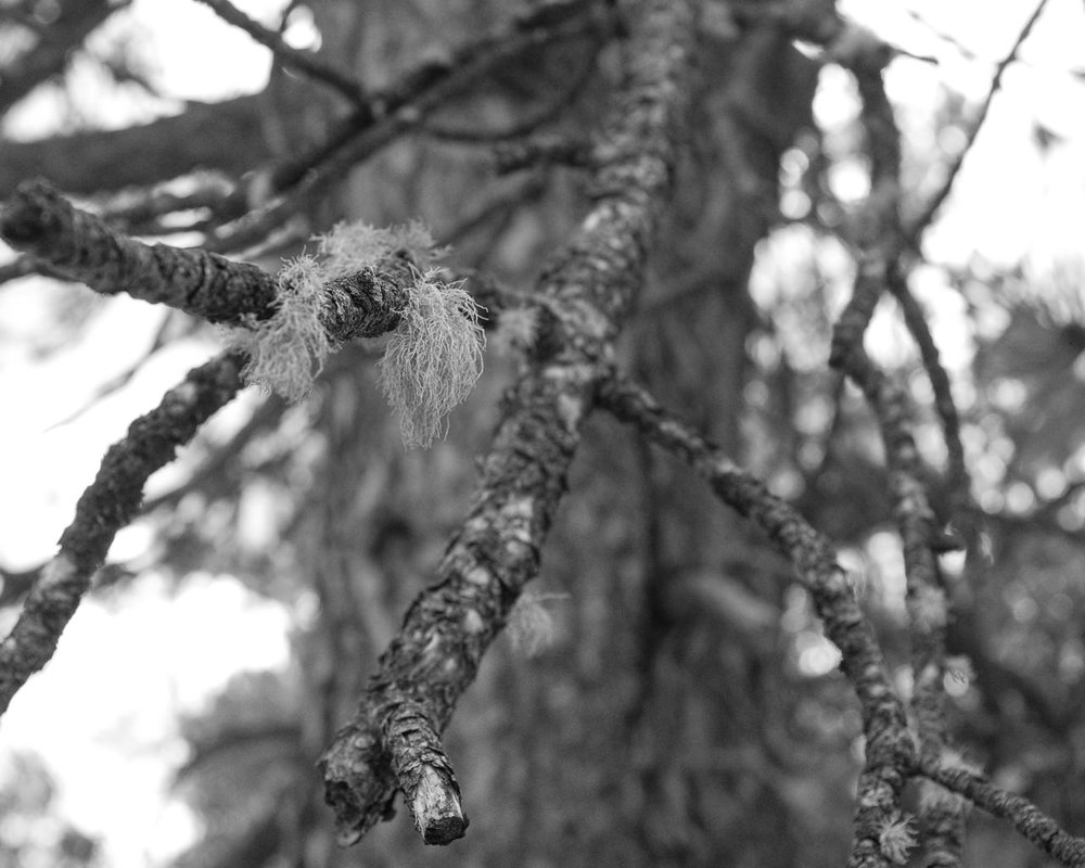 Day 101- 365 Day B&W Photo Challenge - Lichen growing on Pine Trees here in Colorado. - Fuji X100F., Acros R Film Preset