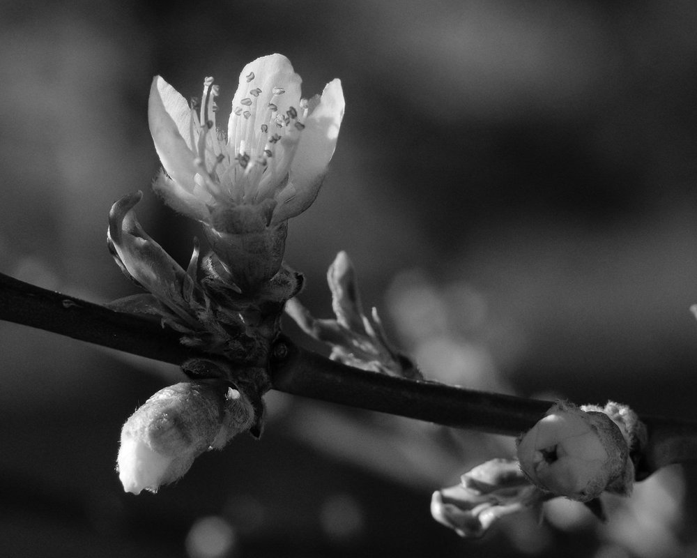 Day 113 - 365 Day B&W Photo Challenge - Peach Blossoms have bloomed for Easter. - Fuji X-T3, XF 56mm f/1.2, MCEX-11 Extension Tube, Acros R Film Simulation