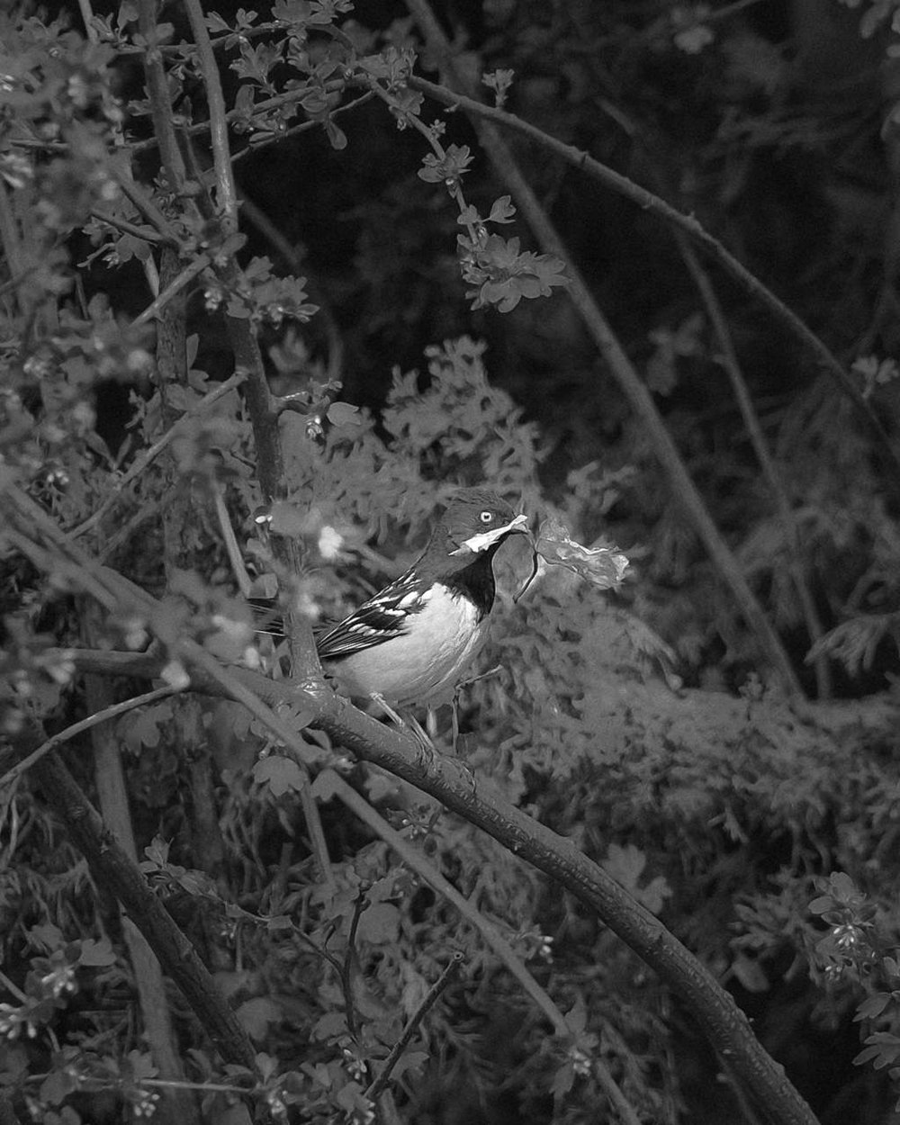 Day 115- 365 Day B&W Photo Challenge - A Spotted Towhee gathering leaves to make a nest. Fuji X-T3, XF 50-140mm f/2.8, Acros R Film Simulation