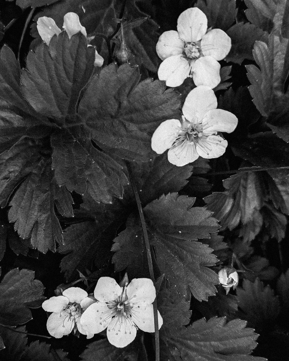 Day 122- 365 Day B&W Photo Challenge - Strawberries are starting to blossom. - Google Pixel 3, VSCO Neopan Acros 400 Film Simulation