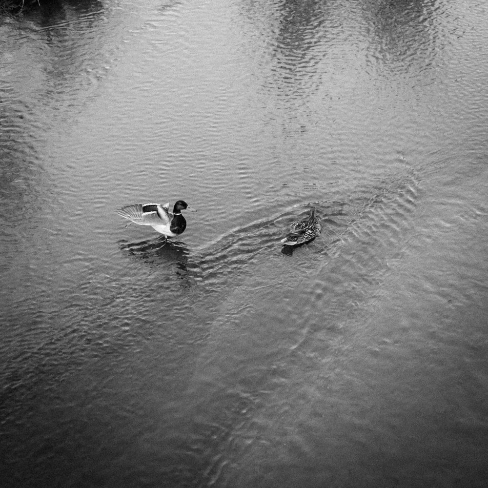 Day 137- 365 Day B&W Photo Challenge - Mallards out for an evening swim. - Google Pixel 3, VSCO Neopan 400 Film Simulation