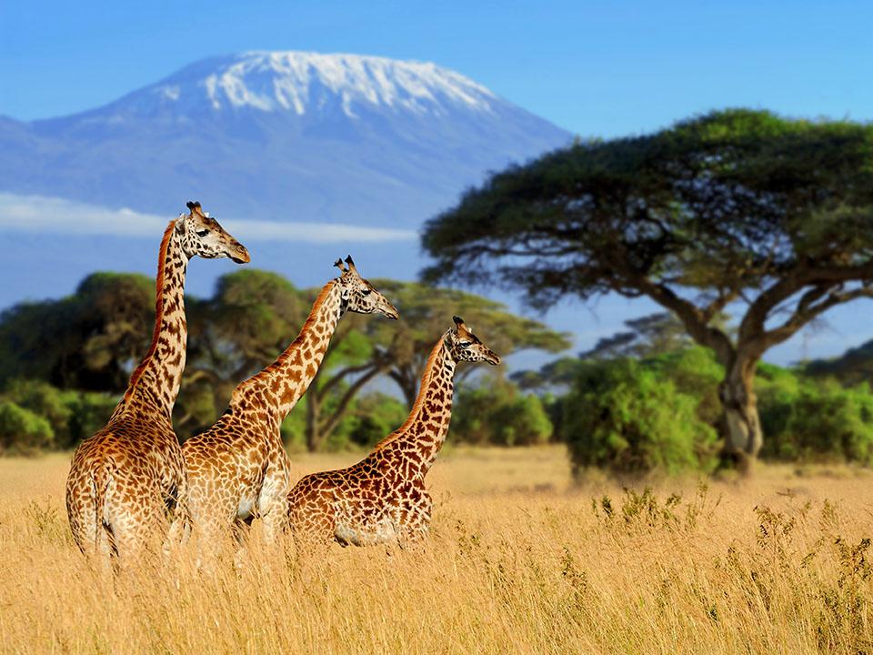Safari _Giraffes_1.jpg