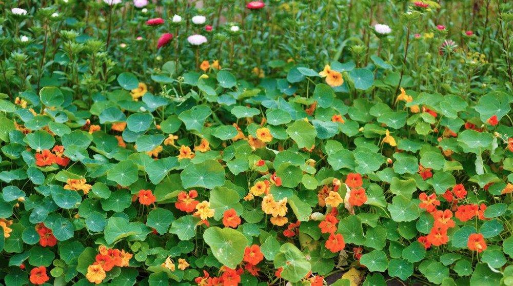 edible weeds.jpg