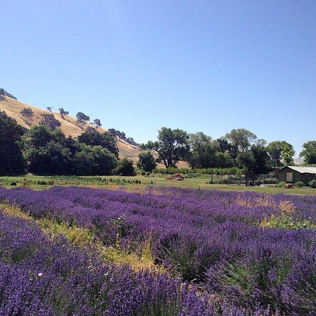 sff lavender field.jpg