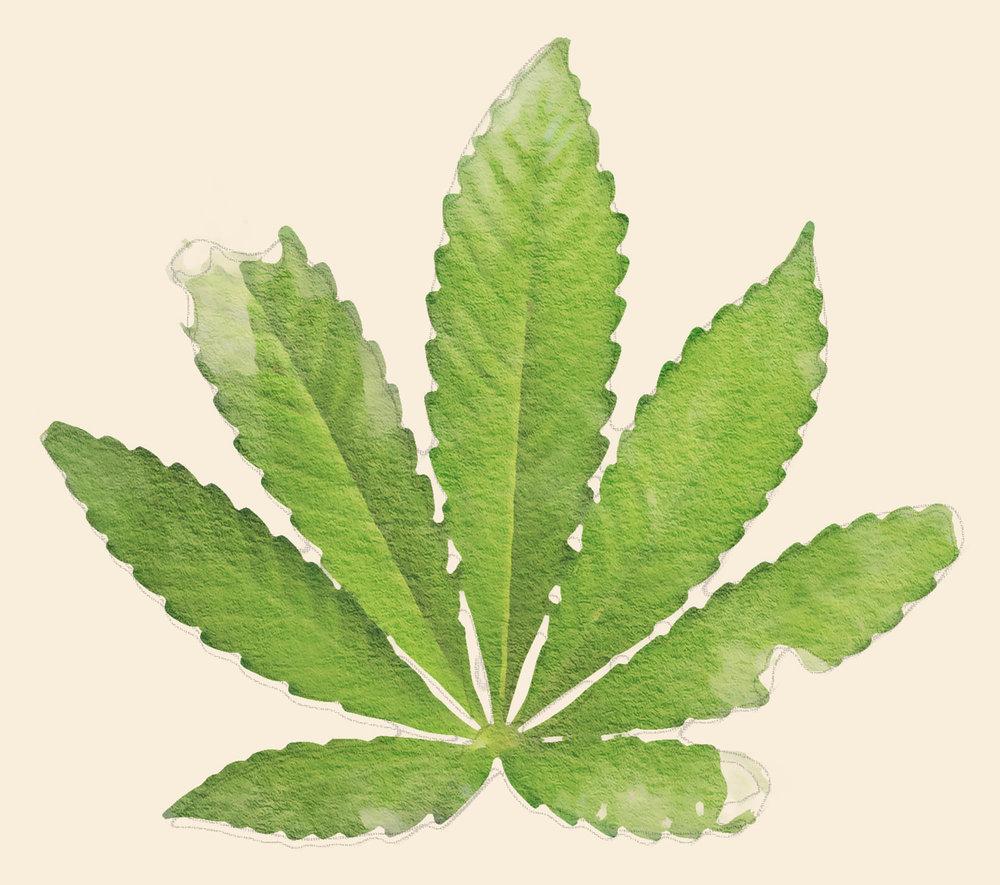 Indica Leaf Watercolour 01.jpg