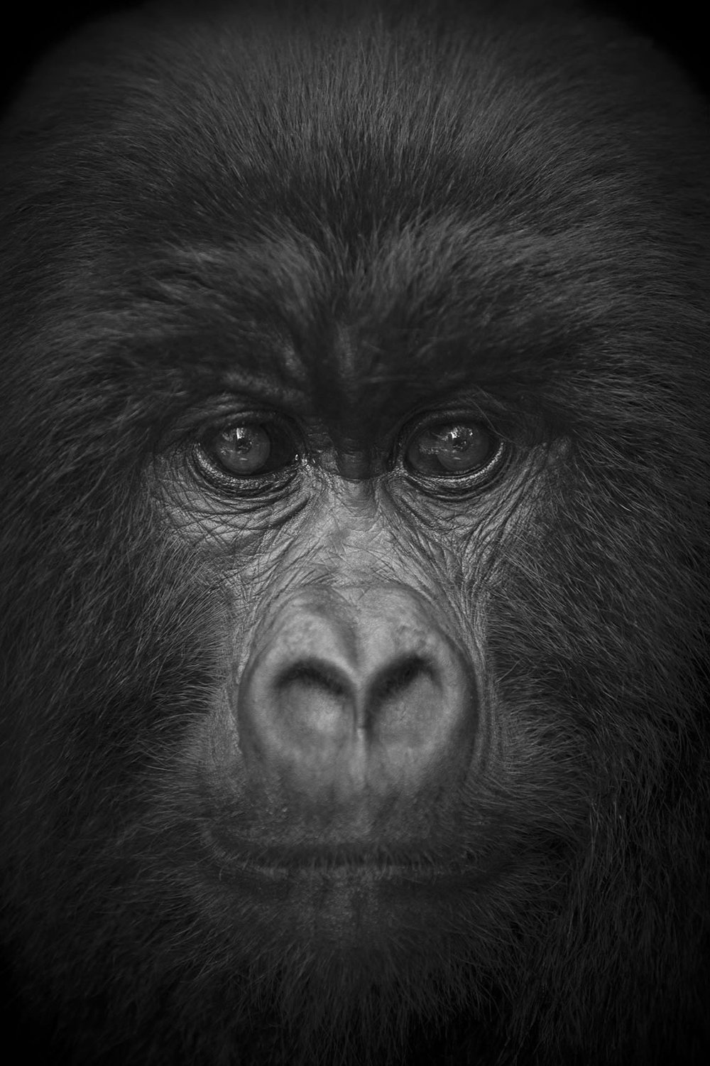 Gorilla, Virunga National Park, Congo, 2017  By Björn Persson  Available in 6 different sizes, Price from 10.000 SEK