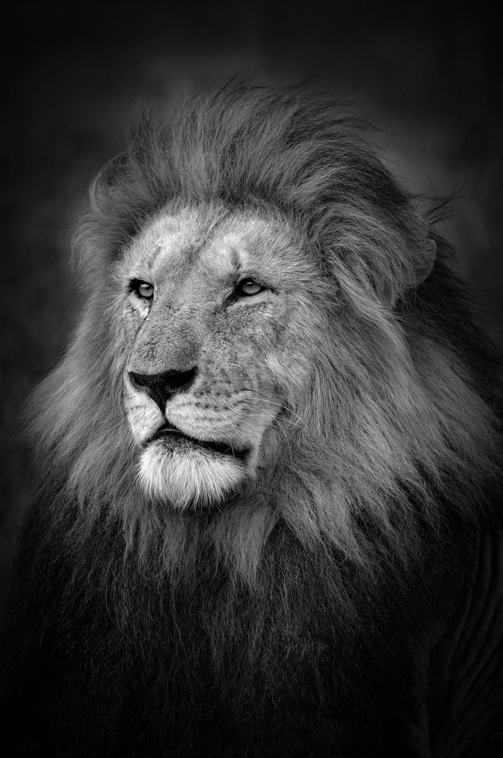 The King, Masai Mara, Kenya 2017  By Björn Persson  Available in 6 different sizes, Price from 10.000 SEK