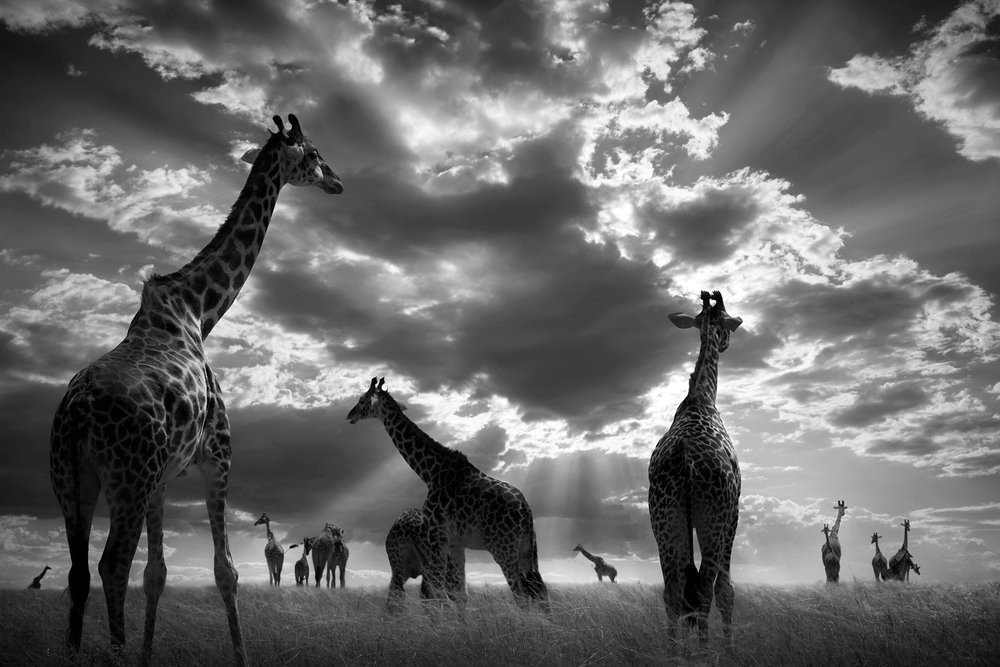 In the Herd, Masai Mara, Kenya, 2017  By Björn Persson  Available in 6 different sizes, Price from 10.000 SEK