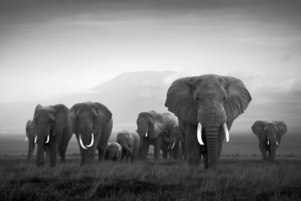 Kilimanjaro, Amboseli National Park, Kenya  By Björn Persson  Available in 6 different sizes, Price from 10.000 SEK