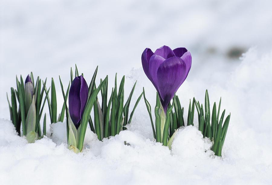 crocus-flower-in-the-snow-david-aubrey.jpg