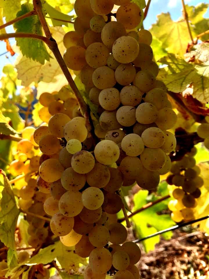 raisin blanc.jpg