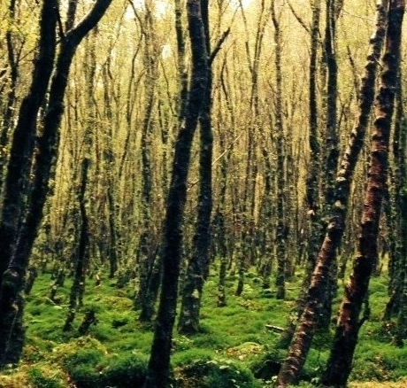 irish trees-psychotherapy.JPG