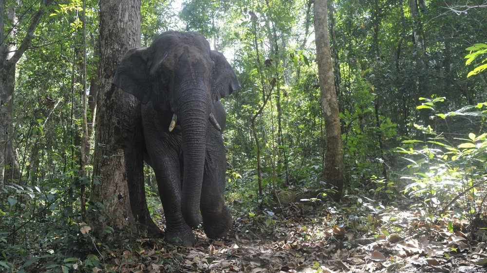 Thai Elephants Help Spread Jungle Fruit's Seeds - Voice of America