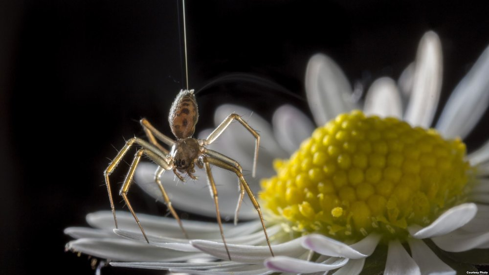 Researchers Indicate Spiders Use Electric Fields to Take Flight - Voice of America