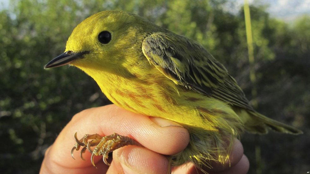 Algorithms Aid Tracking of Migrating Songbirds in Arctic - Voice of America