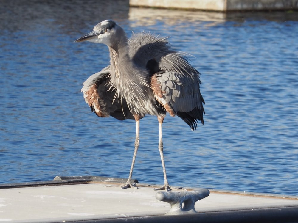 This heron was our constant companion in San Pedro. Here he is, doing his daily afternoon catwalk down the docks, which consisted of strut and fluff, strut and fluff, and another round of strut and fluff, while another heron (buddy? amorous interest? evil rival?) mirrored his movements on the opposite dock. It was quite a spectacle.