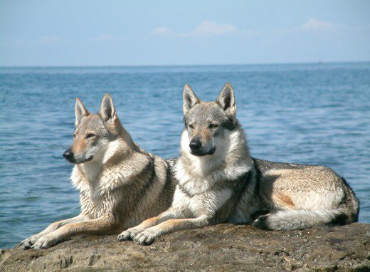 Kunming Wolfdog Breeders Cup Kūnmíng quǎn) is an established breed of wolfdog originated in china. breeders cup