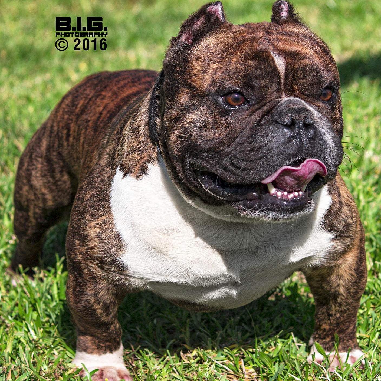 exotic bulldog