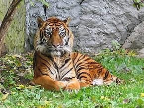 Le toyger, au poil court et doux, possède un corps bien charpenté, musclé et allongé, très athlétique. Ses muscles