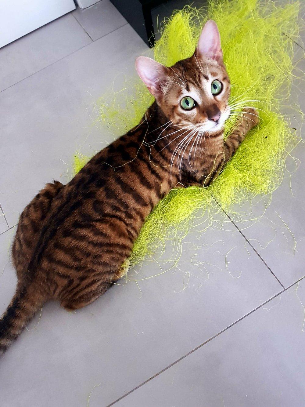 Le Toyger est un chat réputé pour être à la fois très actif, très intelligent et très affectueux. Il est très docile et se dresse facilement. D'un bon tempérament, c'est un chat qui a une très grande capacité d'adaptation et s'entend aussi bien avec les adultes que les enfants et les autres animaux. C'est un chat bavard au miaulement particulier toujours à l affût. -