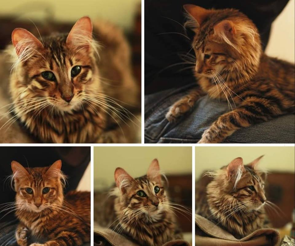 queenanne eeyaa toyger long hair