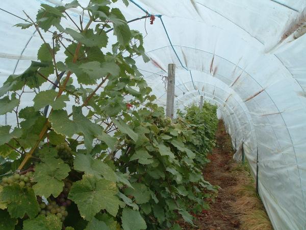 Lusca Vineyards in Ireland