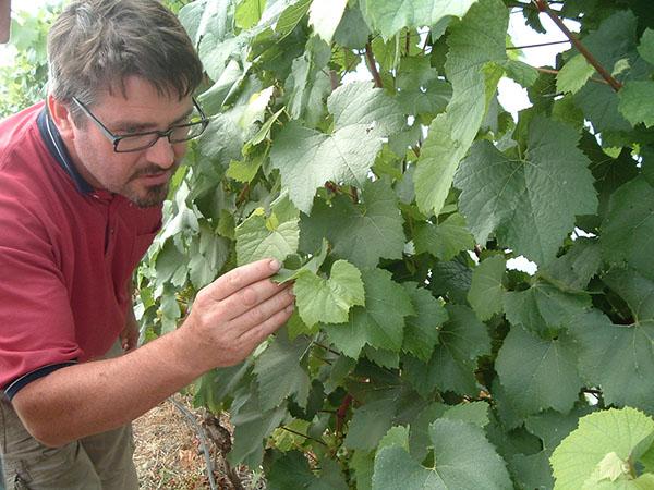 David Llewellyn at Lusca Vineyards