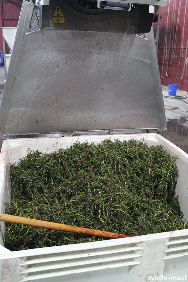 Bin full of stems that have been removed from the grapes after sorting. Photo: J. Waits