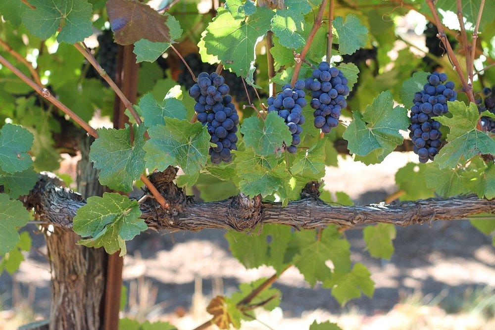 Pinot noir grapes at Mariah Vineyards on September 10, 2018. Photo: J. Waits/Waits-Mast Family Cellars