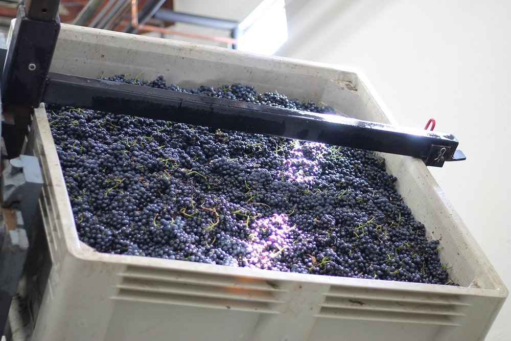 Mariah Vineyards pinot noir grapes about to be dumped on the sorting table. Photo: J. Waits/Waits-Mast Family Cellars