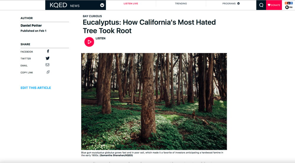(KQED/Bay Curious) Eucalyptus: How California's Most Hated Tree Took Root