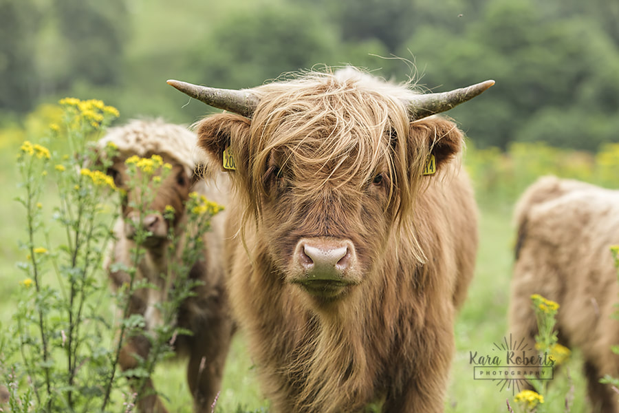 travel-blog-2018-6-highland-cow-8-web_orig.jpg