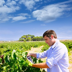 Attention to quality in the vineyard can be a major factor in wine price