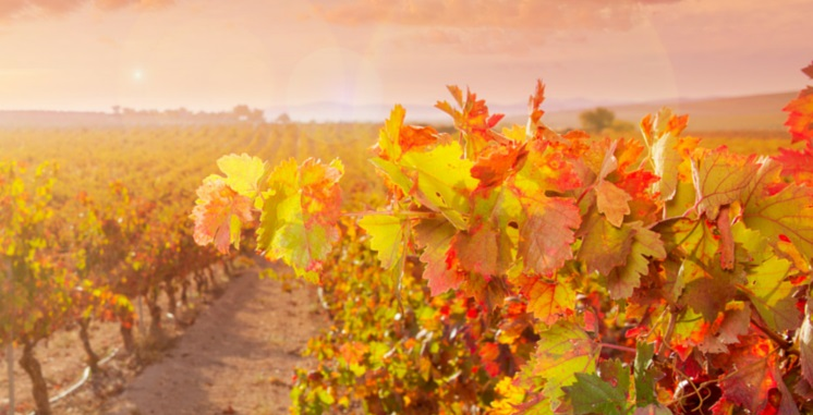 Vineyard Background cropped.jpg