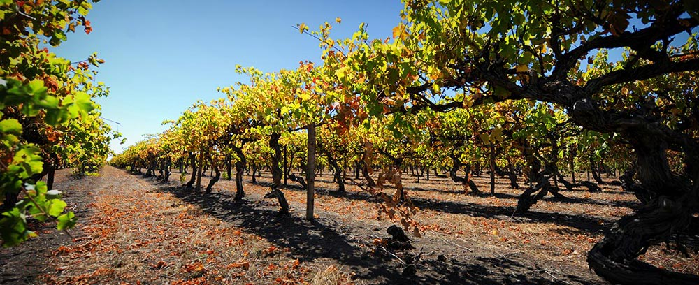 Wynns Coonawarra vineyard