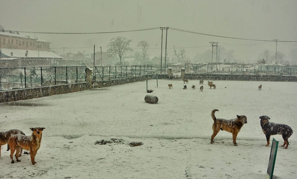 Dogs during a snowfall in Srinagar
