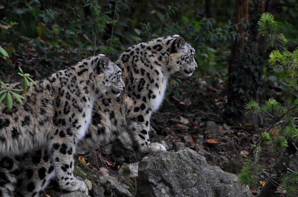 pascal-mauerhofer-397870-unsplash_Nepal_Snow_Leopard.jpg