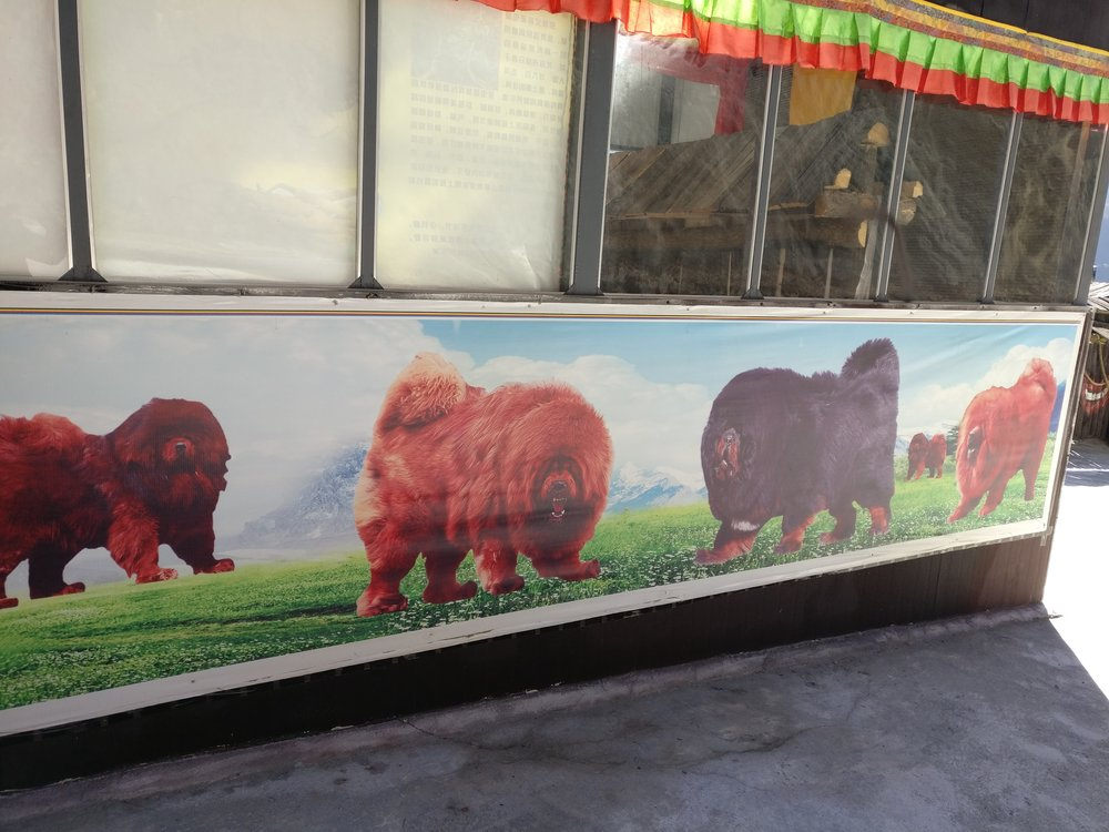 "One of the ""Showrooms"" selling Tibetan Mastiffs"