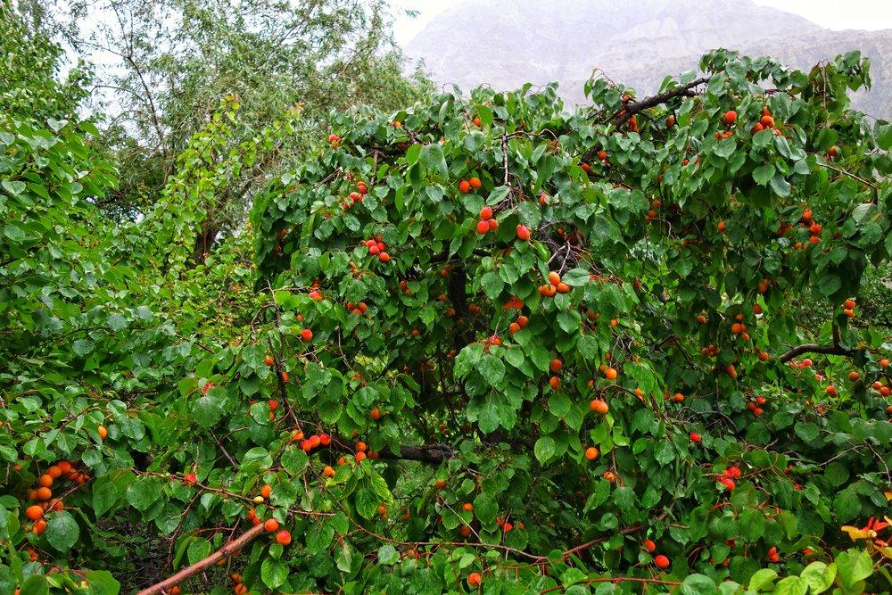 Apricots at Thang Village