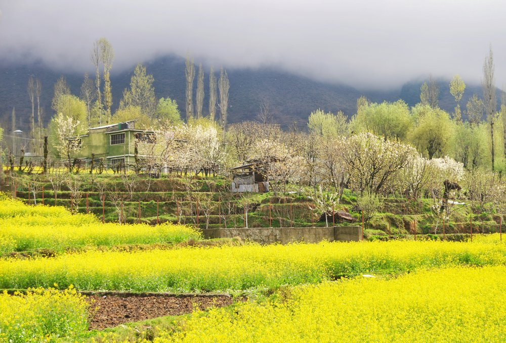 Mustard Fields outside the Dachigam National Park