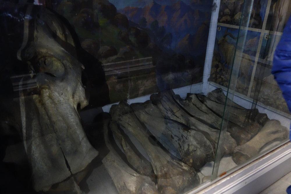kashmir-mammoth-bones-sps-museum