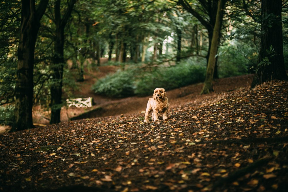 autumn-leaves-canine-cocker-spaniel-305225.jpg